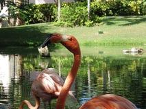 Flamingogesicht Stockbilder
