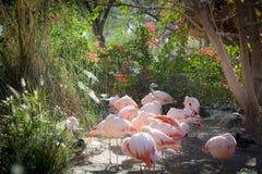 Flamingoglänta arkivfoton