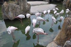 flamingogrupp Arkivbilder