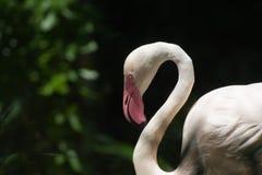 Flamingohauptschuß Lizenzfreie Stockfotos