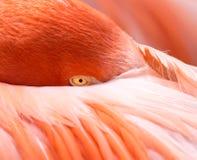 Flamingohoofd in of onder zijn veren en vleugels wordt geplooid die royalty-vrije stock afbeelding