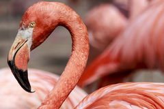 Flamingokopf Stockbild
