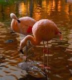 Flamingokran med vattenstekflott från näbb Arkivfoto