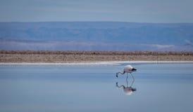 Flamingolagunenreflexion Stockfotografie