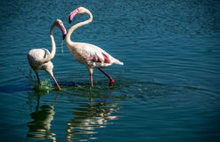 Flamingoliebe Stockfoto