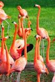flamingomiami zoo Royaltyfri Fotografi
