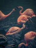 Flamingomislukking omhoog royalty-vrije stock fotografie