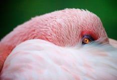 Flamingonahaufnahme Stockfotografie