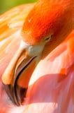 Flamingonahaufnahme stockbilder