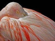 Flamingonahaufnahme Lizenzfreie Stockfotografie