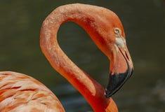 Flamingonahaufnahme - Landschaft lizenzfreies stockbild