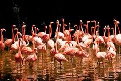 flamingopöl Arkivbild