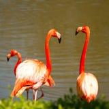 Flamingopaar Royalty-vrije Stock Afbeeldingen