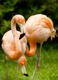 Flamingopaare am Zoo Stockfotos