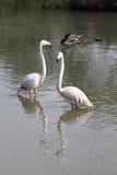 Flamingopar i den franska Camarguen Royaltyfria Bilder