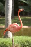 flamingopink Royaltyfria Foton