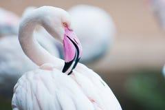 Flamingoportret stock afbeelding