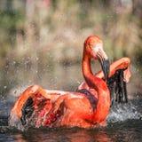 Flamingoporträts Stockfotografie
