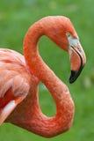 flamingoprofil Arkivfoto