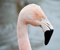 Flamingoprofil Fotografering för Bildbyråer