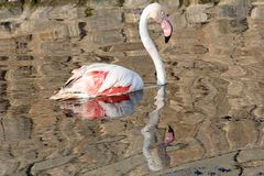 Flamingoreflexion Stockbilder