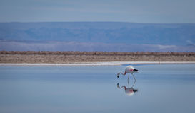 Flamingoreflexion på sjön, Atacama öken - Chile Royaltyfria Foton