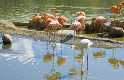 Flamingoroze en wit Royalty-vrije Stock Fotografie