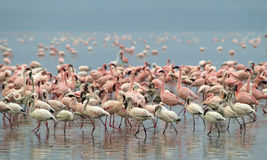 Flamingos 1 Imagens de Stock