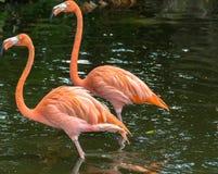 Flamingos Imagens de Stock