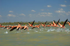 Flamingos. Flying on the river in Rio Lagartos, Mexico Stock Photography