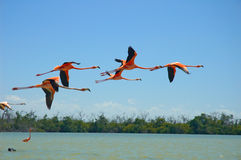 Flamingos. Flying on the river in Rio Lagartos, Mexico Stock Photo