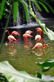 Flamingos. Many flamingos in its vibrant red looking for something to feed themselves Royalty Free Stock Photo