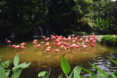 Flamingos. Many flamingos in its vibrant red looking for something to feed themselves Royalty Free Stock Photography