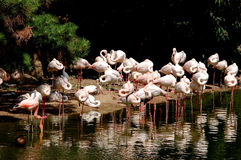 Flamingos. Flock of pink/white flamingos Stock Photo