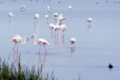 Flamingos Fotografia de Stock Royalty Free
