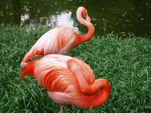 Flamingos. Two flamingos staying on bank royalty free stock images