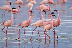 flamingos Royalty Free Stock Images