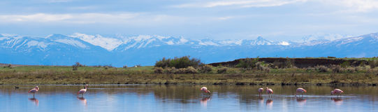 Flamingos. Panorama of the lake with pink flamingos. In the background the mountains with snow-covered tops Royalty Free Stock Photography