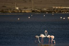 Flamingos. In a salt mine in southern Spain stock photo