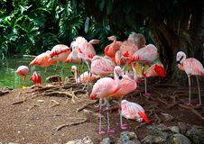 Flamingos. Pack of flamingos by a pond Royalty Free Stock Photo