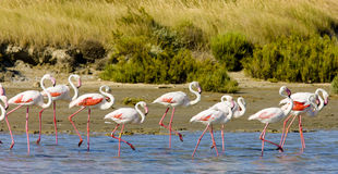 Flamingos Imagem de Stock Royalty Free
