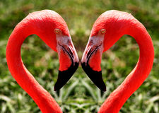 Free Flamingos Royalty Free Stock Image - 153866