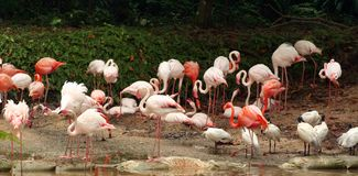 Flamingos foto de stock royalty free
