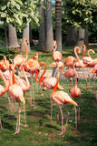 Flamingos. A group of pink flamingos in park Royalty Free Stock Image