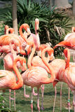 Flamingos. A group of pink flamingos in park Royalty Free Stock Photography