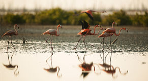 Flamingos. Stock Photos