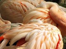 flamingos fotografering för bildbyråer