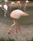 Flamingos. Lizenzfreie Stockfotografie