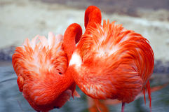 Flamingos. Couple of red flamingoes sleeping Stock Images