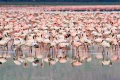 Flamingos Stock Photos